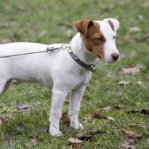 comment éduquer un jack russell terrier