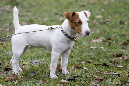 photo comment chasse le jack russel