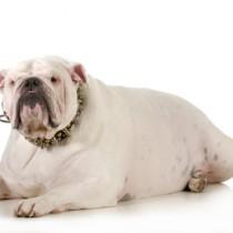 mon chien est obèse