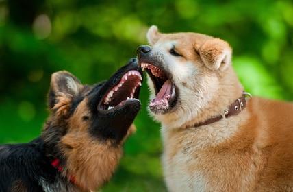éviter bagarres chiens partie 2