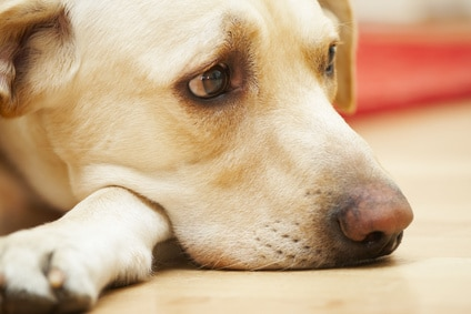 10 conseils pour traiter la dépression chez le chien