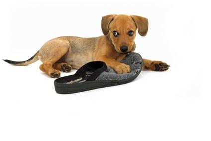Mon chien mange des objets, que dois-je faire ? - Cailloux