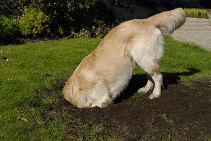 Comment empecher un chien de creuser des trous dans le jardin
