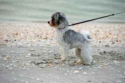 mon chien tire sur la laisse