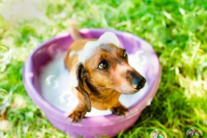 shampooing naturel pour chien