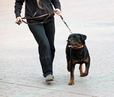 mon chien tire sur la laisse quand je marche en promenade