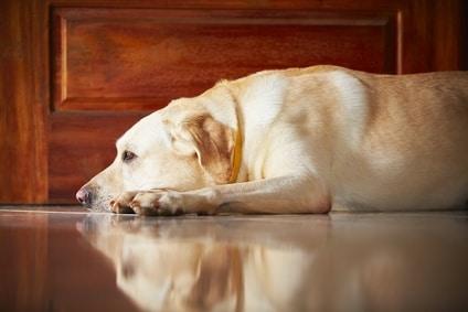 l'anxiété du chien adulte