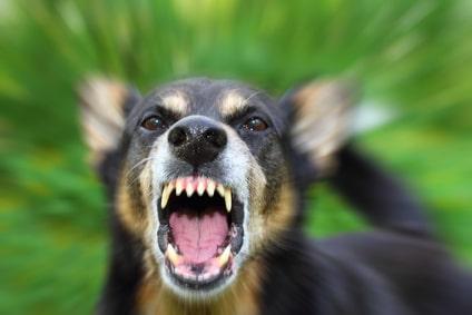 Comment bien comprendre l'agressivité du chien adulte