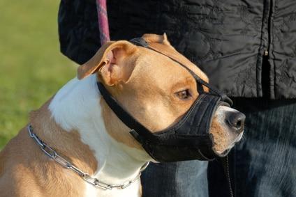 comment habituer un chien à la muselière