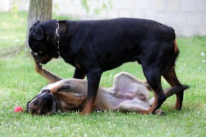 éviter bagarres chiens : partie 1