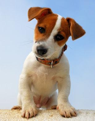 Pourquoi il est obligatoire d'éduquer son Jack Russell Terrier