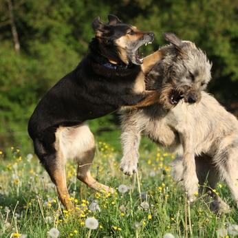 7 astuces pour arrêter une bagarre de chiens