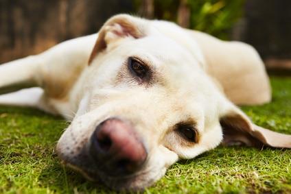3 causes qui conduisent le chien à la depression