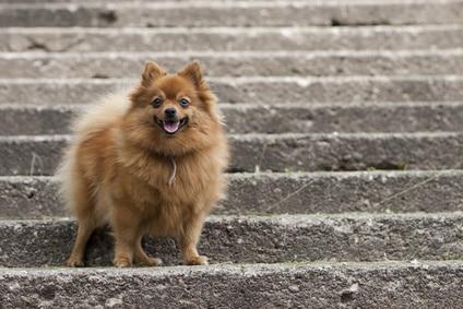 Pourquoi mon chien a peur des escaliers