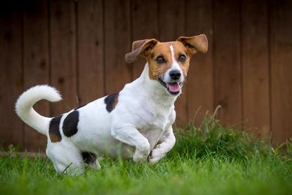 Le Jack Russell Terrier : éducation, comportement, caractère...
