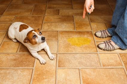 Pourquoi mon chien urine quand il est content
