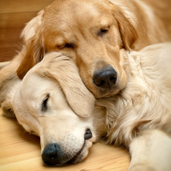comment éduquer deux chiens en même temps