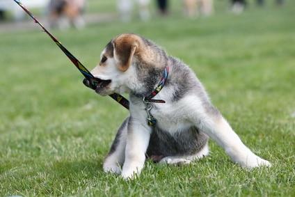 éducation du chien adulte